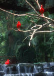 My Photographs  -  Hong Kong  -  Scarlet Egrets