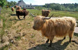Highland Cattle  -  by the Caledonian Canal, near Fort Willliam