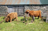 Highland Cattle  -  at Durinish, near Kyle of Lochalsh