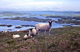 Sheep on North Uist, Outer Hebrides