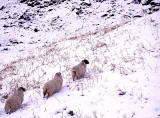 Sheep  -  somewhere in Perthshire or Sterlingshire