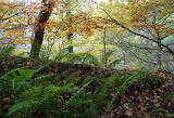 Carrington, Midlothian  -  Ferns and Trees  -  October 2010