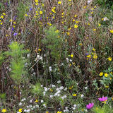 Wild flowers beside the Union Canal towpath at Polwarth, Edinburgh  -  October 2014