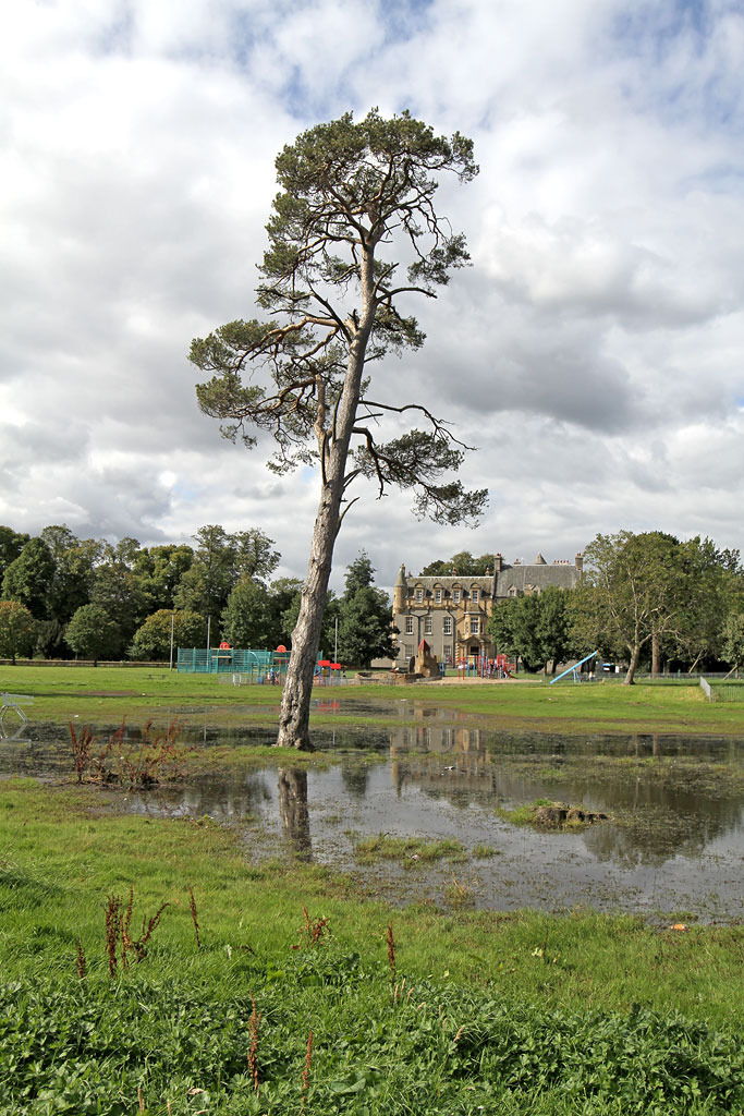 Scots Pine Tree in the middle of the flooded area at Inch Park