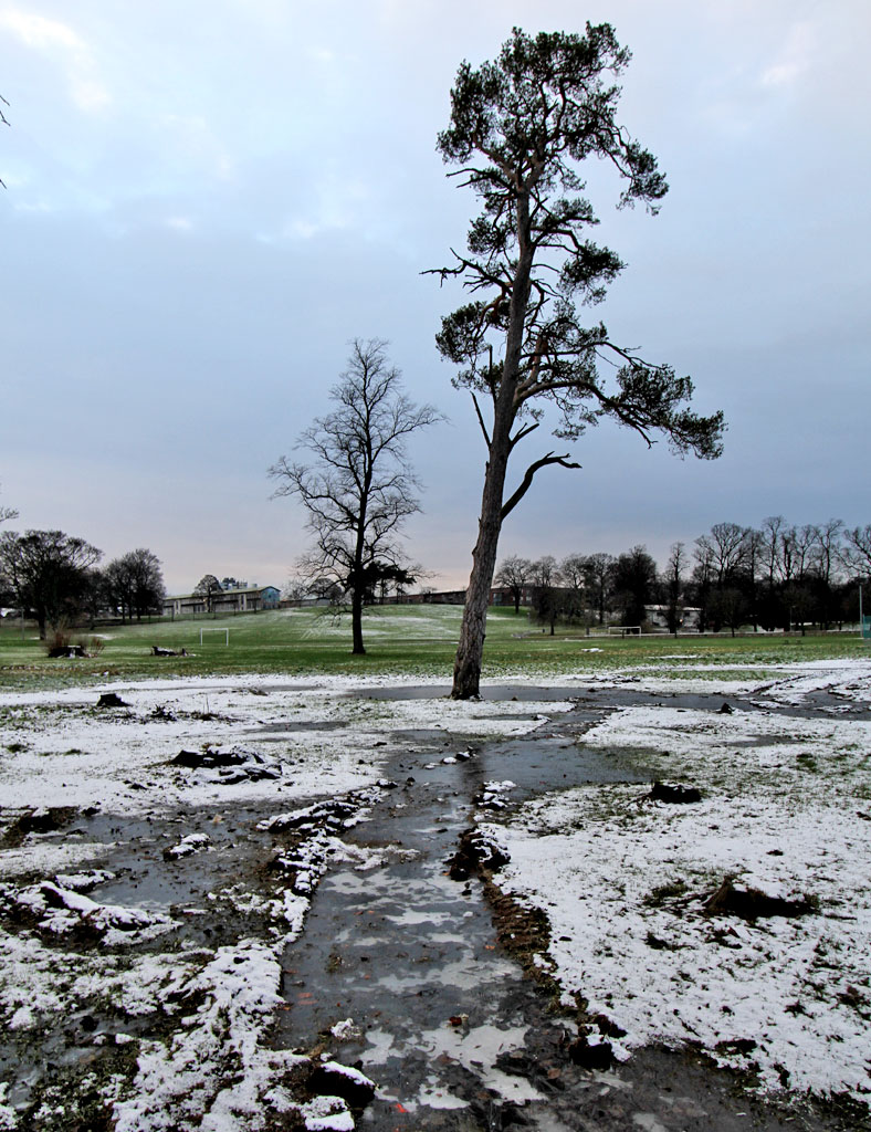 Scots Pine Tree with snow and ice, on the ground that was flooded  in Inch Park between Glenallan Drive and the children's playground in front of Inch House  -  January 2013