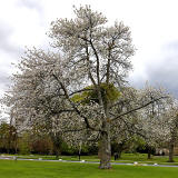 Cherry tree in the grounds of Merchiston Castle School   -  May 2013