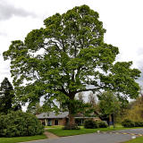 Sycamore tree in the grounds of Merchiston Castle School   -  May 2013