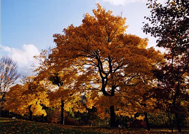 Autumn Colours in the Royal Botanic Gardens  -  Photographed 2 November 2003