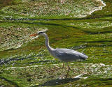 Heron on the Water of Leith at Warriston Road, Edinburgh - May 18, 2010