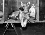 Alsatian at the Dog Show at Waverley Market, 1955