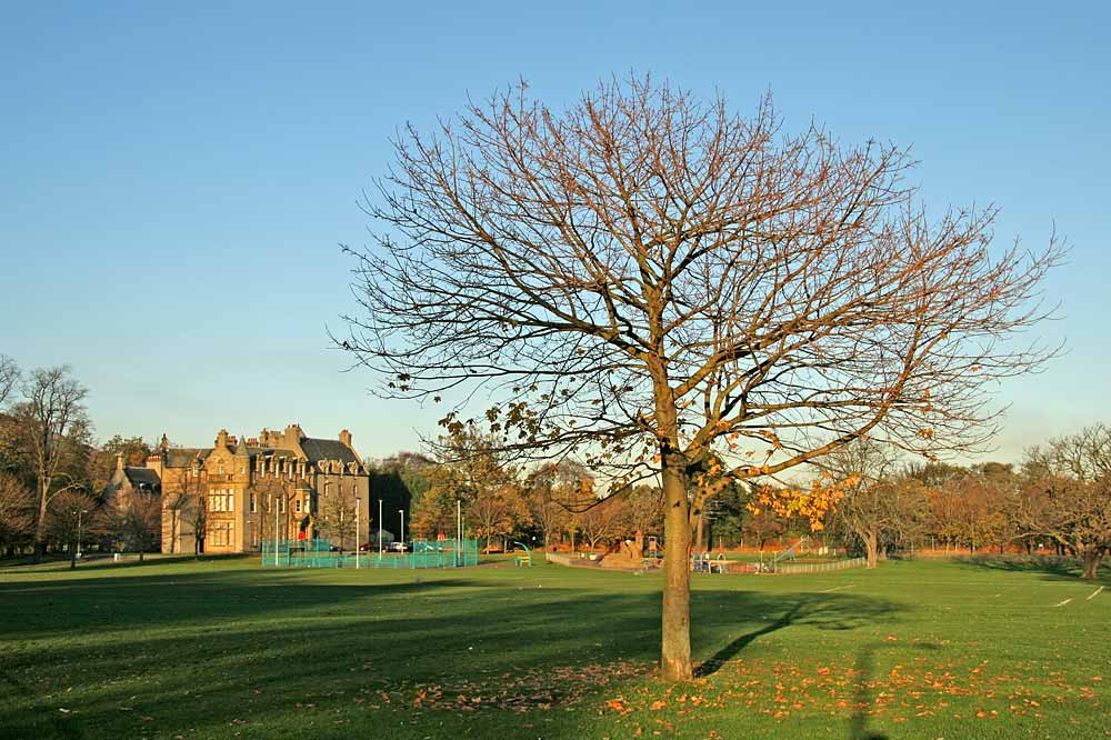 Sycamore Tree near the SW corner of Inch Park