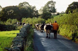 Cows in the Yorkshire Dales - 1