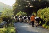 Cows in the Yorkshire Dales - 2