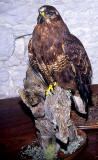Bird of Prey in George Jamieson's taxidermy workshop at Cramond Tower