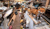 Salmon and Fox in George Jamieson's taxidermy workshop at Cramond Tower