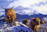 Christmas Card published by RSAIB, 'Scotland's Charity helping people who have depended on the land', featuring my photo of highland cattle near Crianlarich