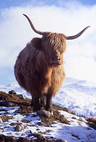 scottish highland cattle snow  Highland Cow - in