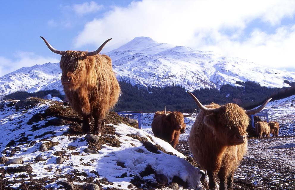 Highland Cows in the Scottish Highlands