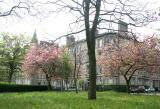 Leven Terrace, Tollcross  -  May 2008  -  Cherry Blossom